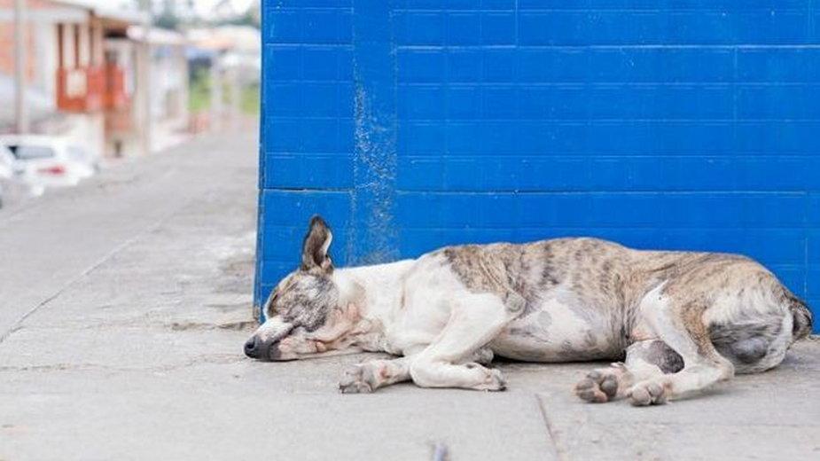 Skrajne osłabienia psa prowadzi do udaru.