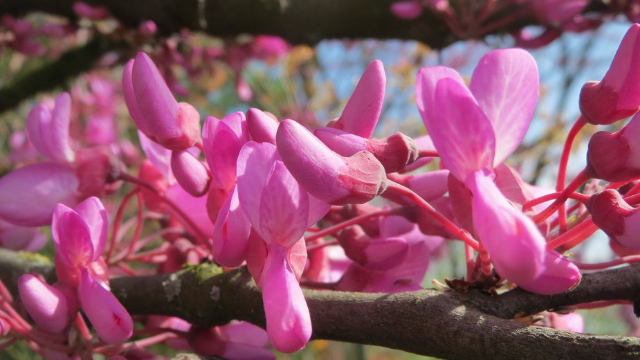 Judaszowiec podczas kwitnienia obsypuje się różowymi kwiatami - WikimediaImages/pixabay.com