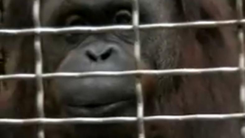 Orangutany też umieją gwizdać