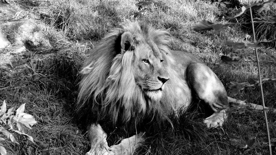 Nie żyje lew Bolek. Był ikoną zoo z Chorzowa