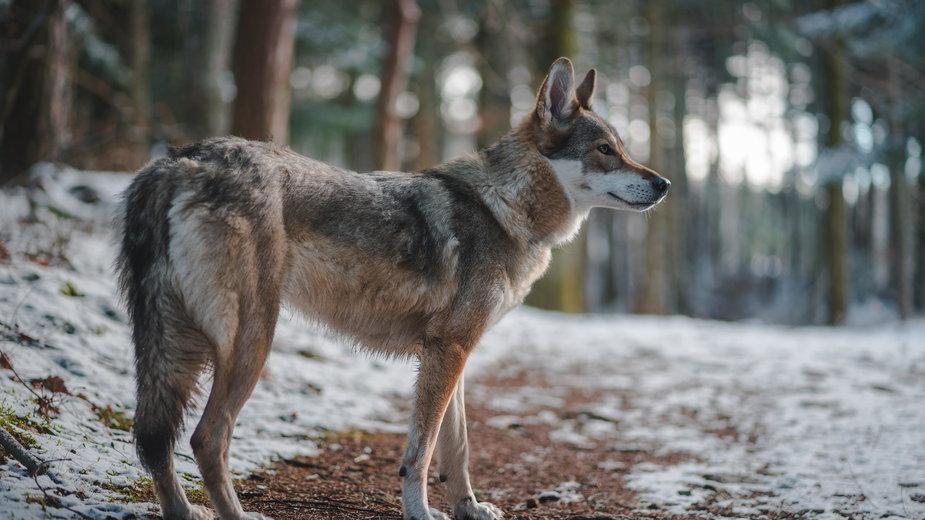Wilk jest ściśle chronionym gatunkiem w Polsce, a mimo to ginie we wnykach i od postrzałów