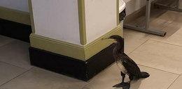 Ranny kormoran przyszedł do szpitala. Miał ważny powód...
