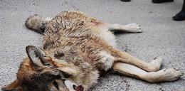 Kłusownicy zabili młodą wilczycę. Foto