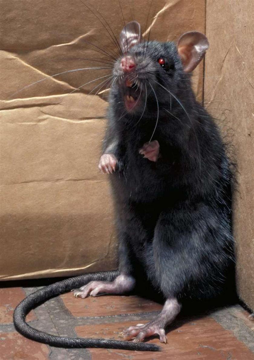 Zabiłam szczura tłuczkiem