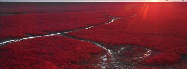 Czerwona plaża (Chiny) Niezwykłość tego miejsca to zasługa sodówek, roślin, które pojawiają się u ujścia rzeki Liaohe w kwietniu-maju. Początkowo są zielone, potem czerwienieją, a gdy obumierają jesienią stają się burgundowe. To właśnie jesienią warto odwiedzić to miejsce, które jest w tym czasie całkowicie pokryte przez sodówki.