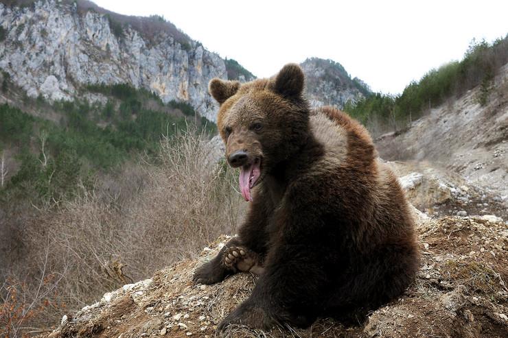 medvedi01_RAS_foto milos cvetkovic