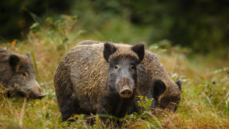 Przyczyną pojawienia się afrykańskiego pomoru świń na terenie Polski były zakażone tym wirusem dziki