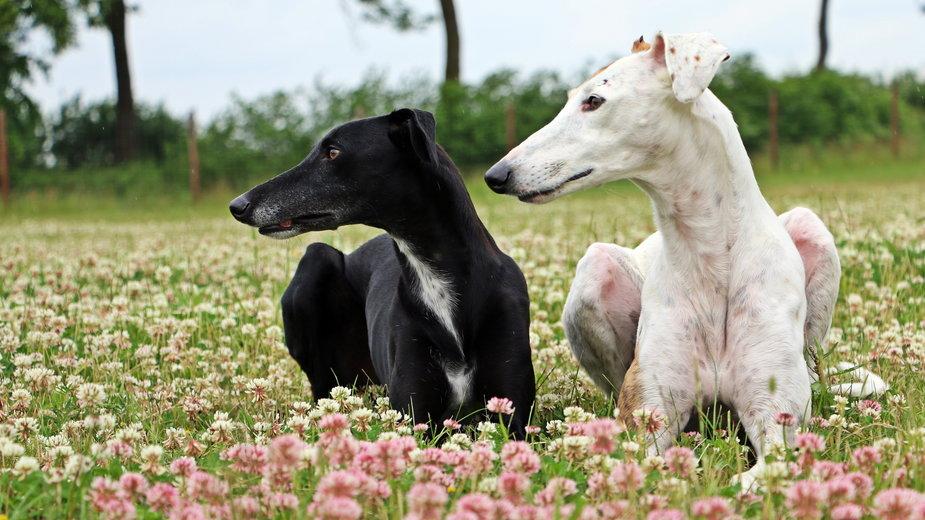 Charty zaliczane są do najstarszych ras psów