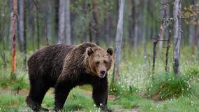 Niedźwiedź chodzący jak człowiek zauważony na obrzeżach New Jersey
