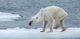 Wychudzony niedźwiedź polarny przestrogą dla ludzkości?