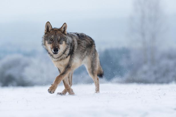 Pracownicy RDOŚ znaleźli tropy wilków, została z tego sporządzona dokumentacja zdjęciowa