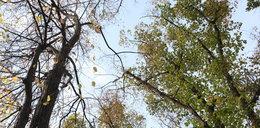 Te gałęzie mogą zabić