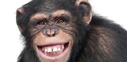 Ta małpa jest mądrzejsza od ludzi