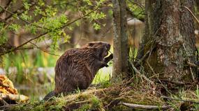 W Tatrach pojawiły się bobry, pierwszy raz w historii
