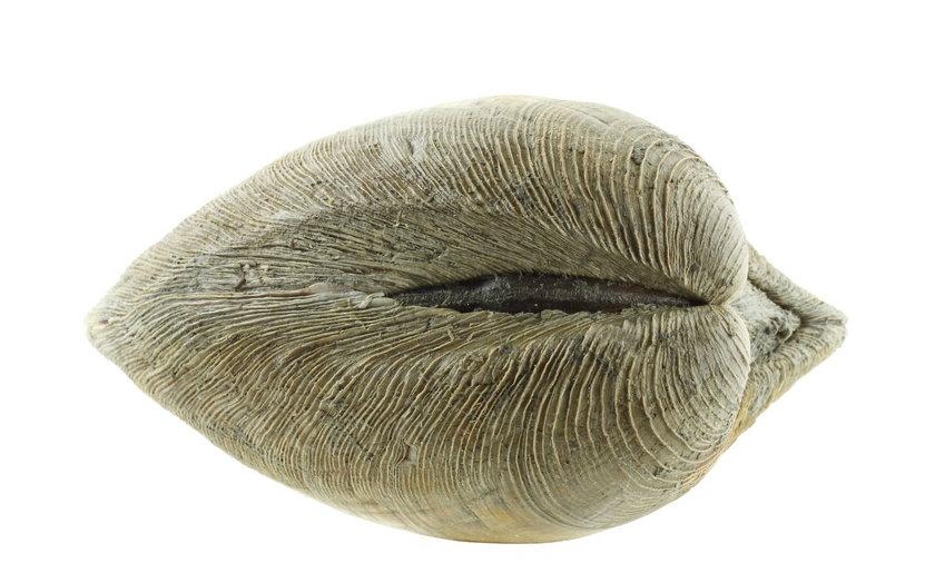 Ocean Quohog