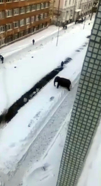 Szok w Rosji. Po ulicach miasta biegały słonie