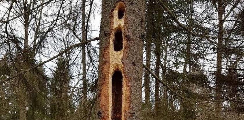 Zdumiewający widok. Leśnicy wyjaśniają, skąd w drzewach wzięły się tak gigantyczne dziury!
