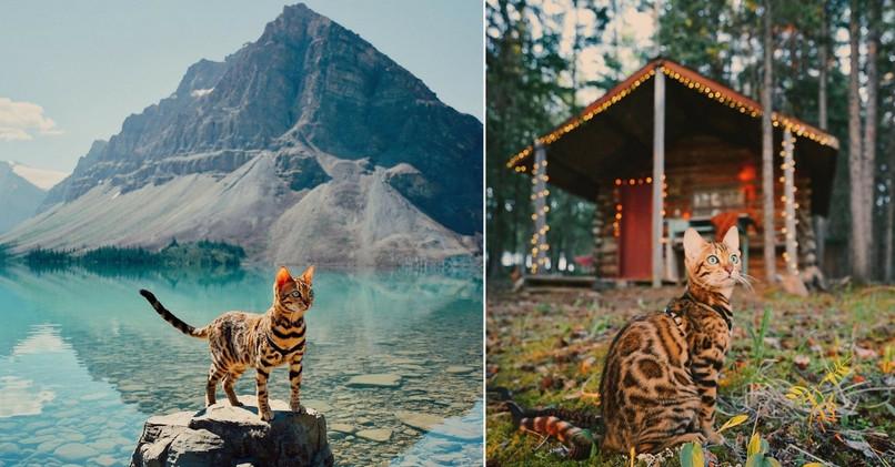 Bengálska mačka menom Suki cestuje so svojou paničkou. 75700c90050
