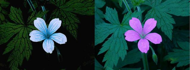 Levo je kako cvet vidi ptica