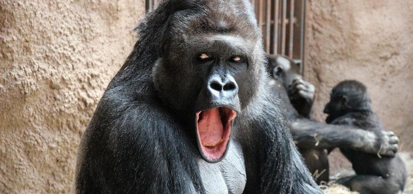 Koronawirus w czeskim zoo. Już wiadomo, dlaczego zachorowały akurat te, a nie inne zwierzęta?