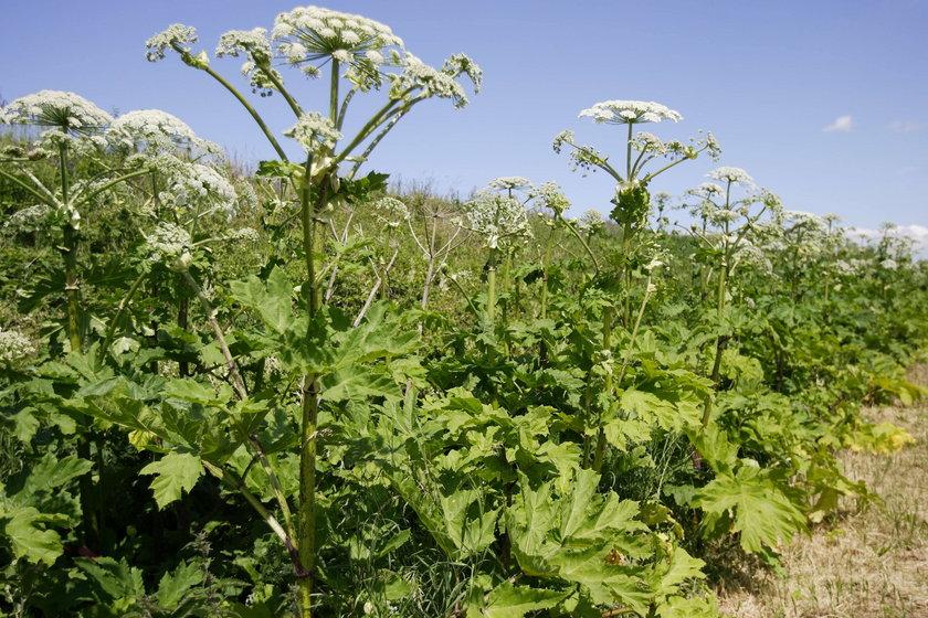 Barszcz Sosnowskiego to okazała roślina zielna osiągająca wysokość nawet do 4 m.