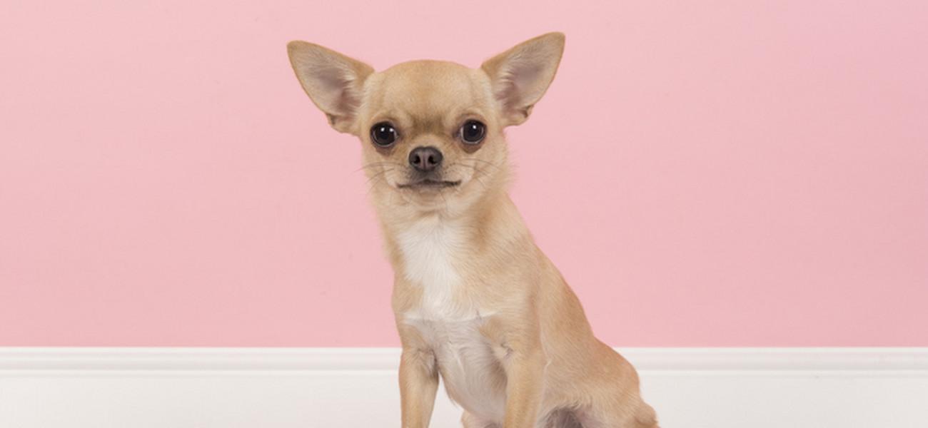 Wspaniały Rasy psów małych – czyli pieski kanapowe. Naajpopularniejsze rasy PQ12