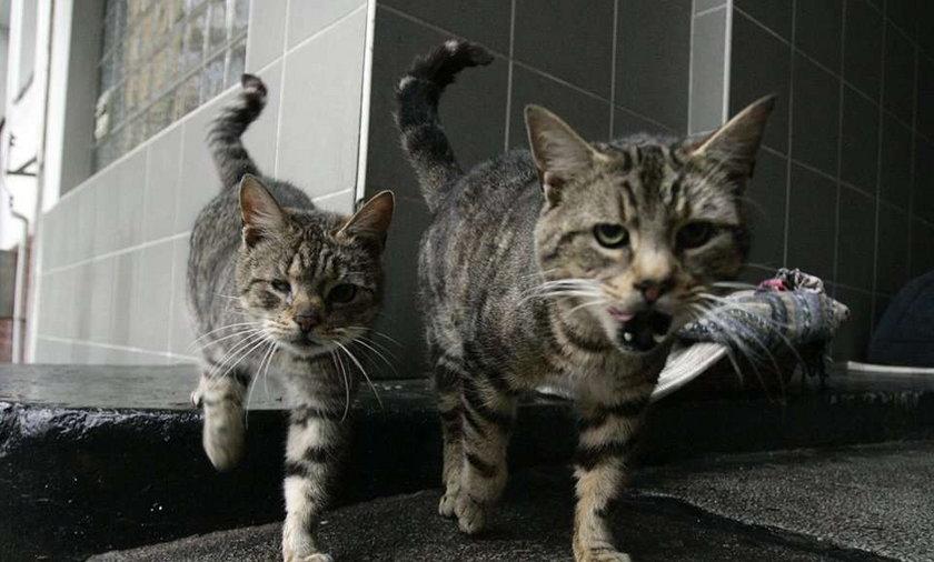 Koty oszalały z miłości