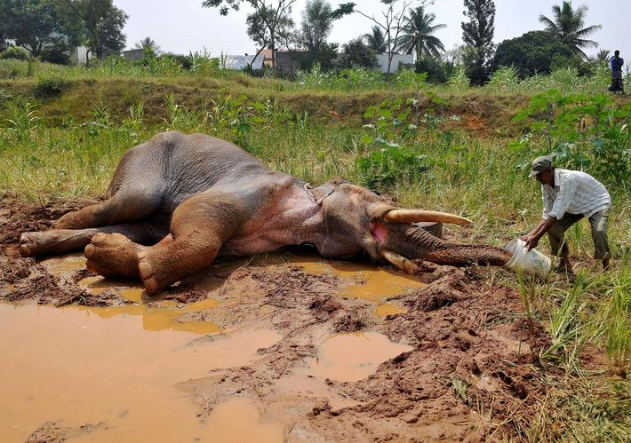 A forest guard provides water to an injured Asiatic elephant as it lies in a field in Avverahalli vi
