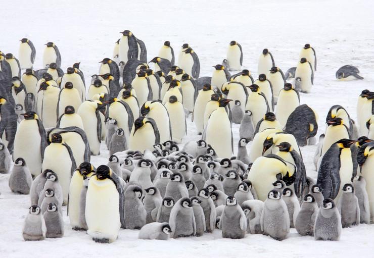 carski pingvini