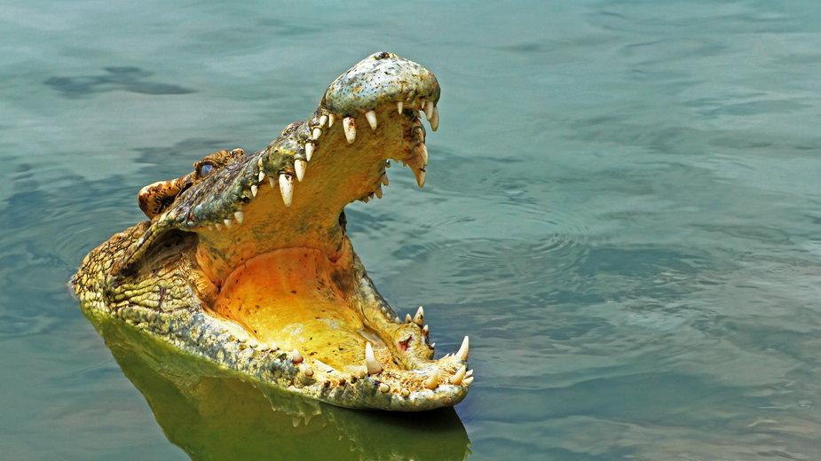 Krokodyl uciekł z hodowli w Czechach (zdj. ilustracyjne)