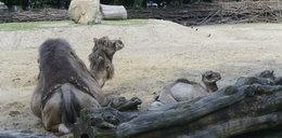 Mały wielbłąd w naszym zoo! Ale ma pragnienie! Zobacz FILM!