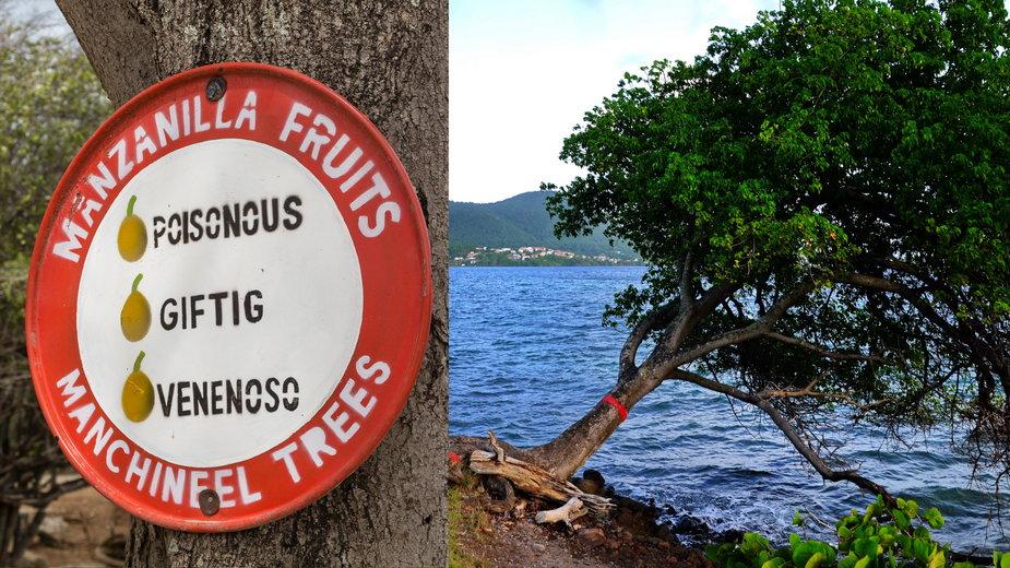 Manchineel (Hippomane mancinella) - najniebezpieczniejsze drzewo świata