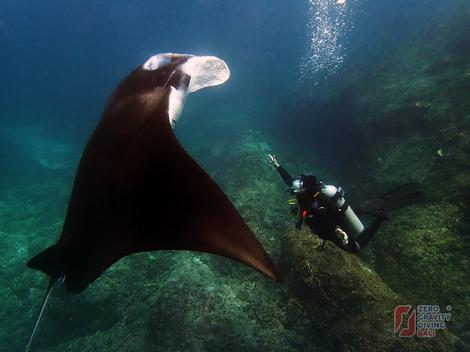 Mante plivaju po celom svetu