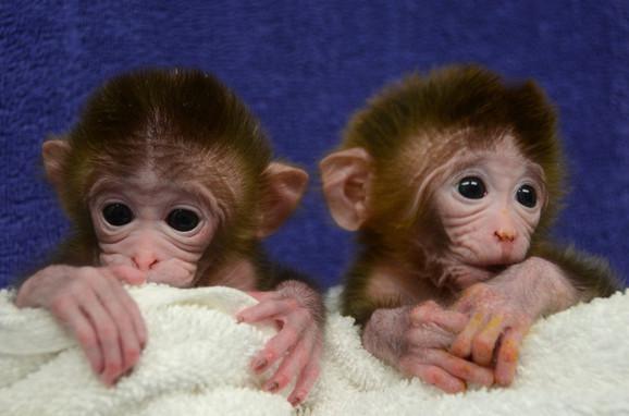 Prvi genetski izmenjeni majmuni Roku i Heks 2012. u Oregonu