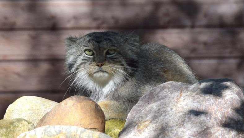 Manul (Fot. Zoo Poznań Official Site)