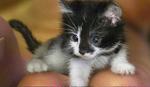 PRESLATKO Upoznajte NAJMANJU mačku na svetu (VIDEO)