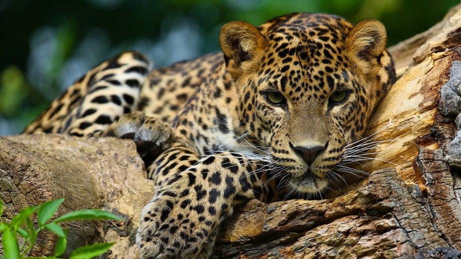 Jaguar zaatakował mężczyznę w zoo