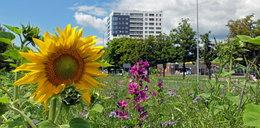 Fiasko projektu kwietnych łąk w Warszawie? Radny dla Faktu: Mieszkańcy mogą czuć się oszukani