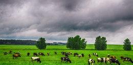 Wolne krowy mogą zostać wyrżnięte po weekendzie wyborczym