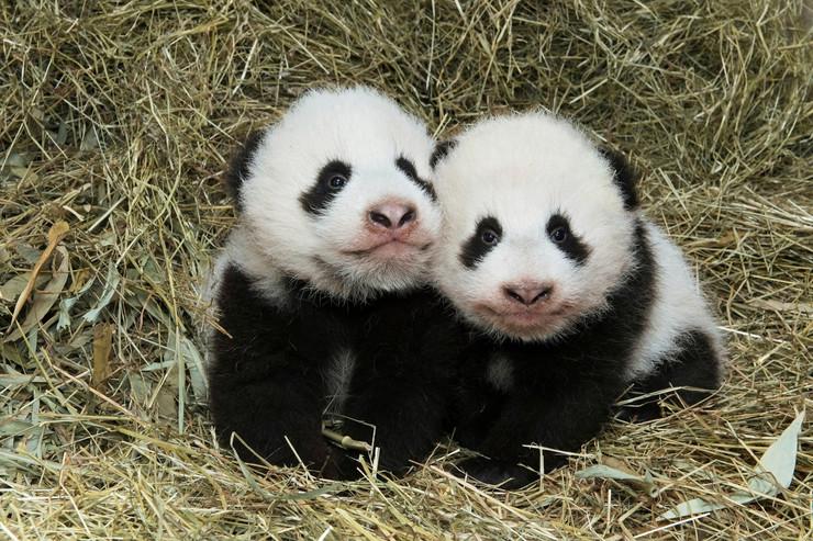 pande blizanci beč02 foto Reuters