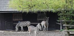 Od maja częstsze kursy do zoo