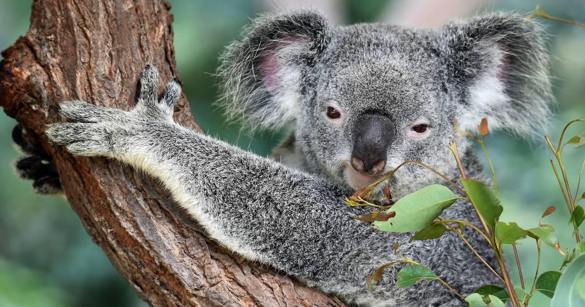 Koalas sind so gut wie ausgestorben