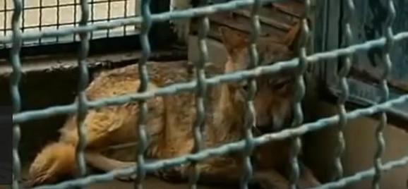 Vučica u Zoološkom vrtu