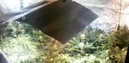 Hodowca marihuany zatrzymany