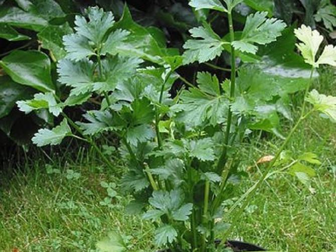 Celer: ublažava reumu, otklanja nadutost i jača apetit
