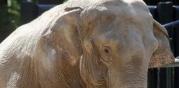 Polskie słonie piły wódkę, by przeżyć
