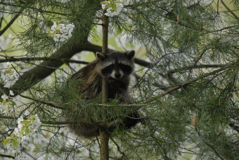 Szop na drzewie