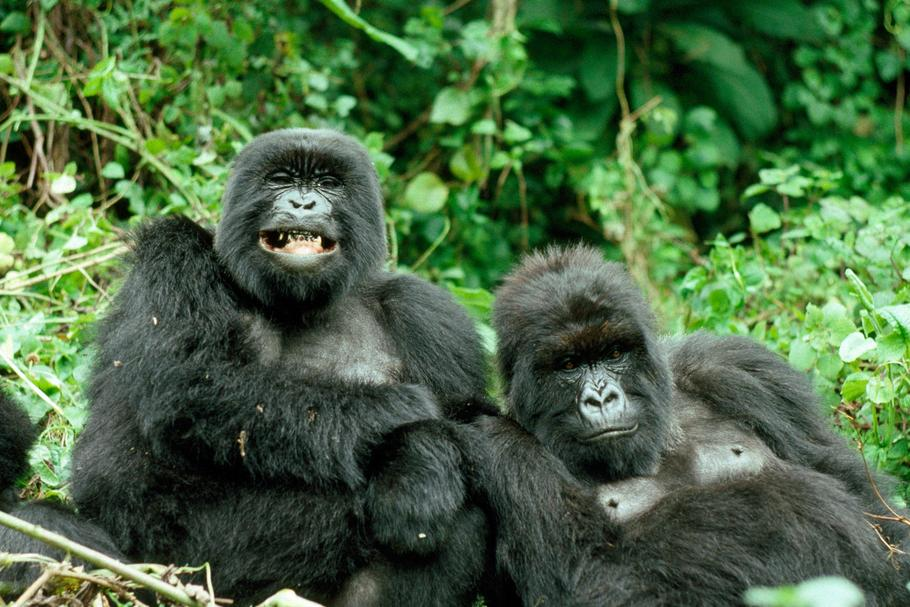 Mountain GORILLAS - x two females 'Murraha' and 'Poppy'