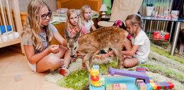 Niesamowita historia. Zobacz, jak malutka sarenka bawi się z dziećmi
