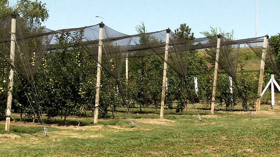 Najsavremeniji voćnjak Podunavlja: Gusta sadnja, kržljave podloge, prehrana preko navodnjavanja, protivgradna mreža